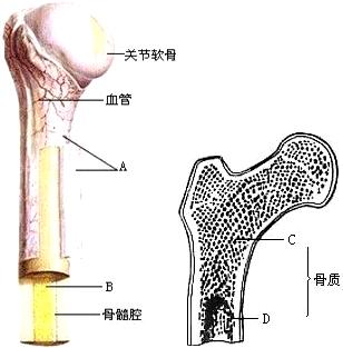 调节长骨生长板发育的生长因子和激素